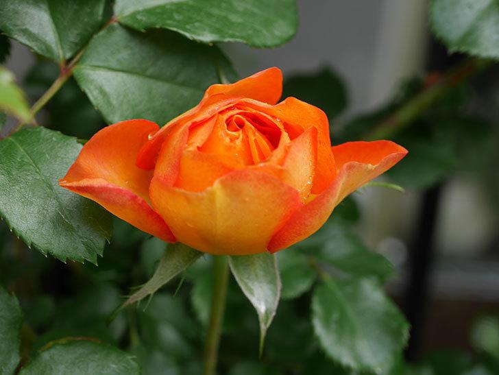 ハニー キャラメル(Honey Caramel)の花が咲きだした。半ツルバラ。2021年-005.jpg