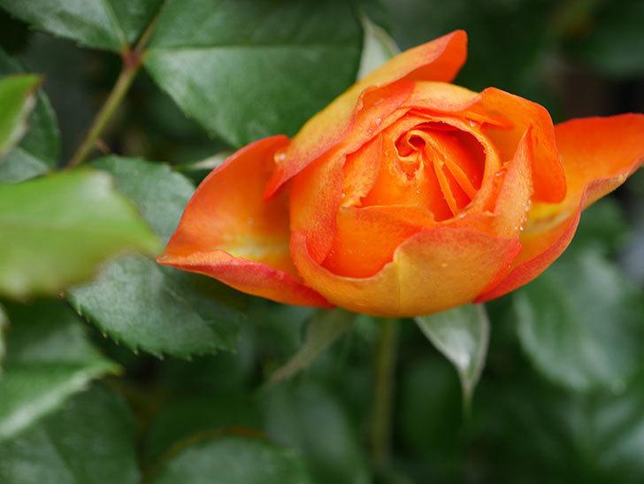 ハニー キャラメル(Honey Caramel)の花が咲きだした。半ツルバラ。2021年-006.jpg