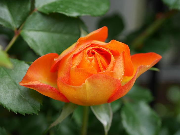 ハニー キャラメル(Honey Caramel)の花が咲きだした。半ツルバラ。2021年-008.jpg