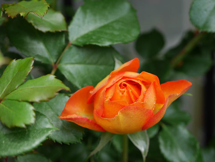 ハニー キャラメル(Honey Caramel)の花が咲きだした。半ツルバラ。2021年-010.jpg
