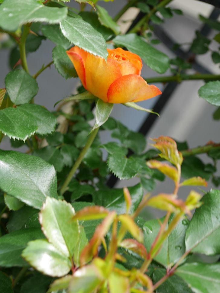 ハニー キャラメル(Honey Caramel)の花が咲きだした。半ツルバラ。2021年-012.jpg