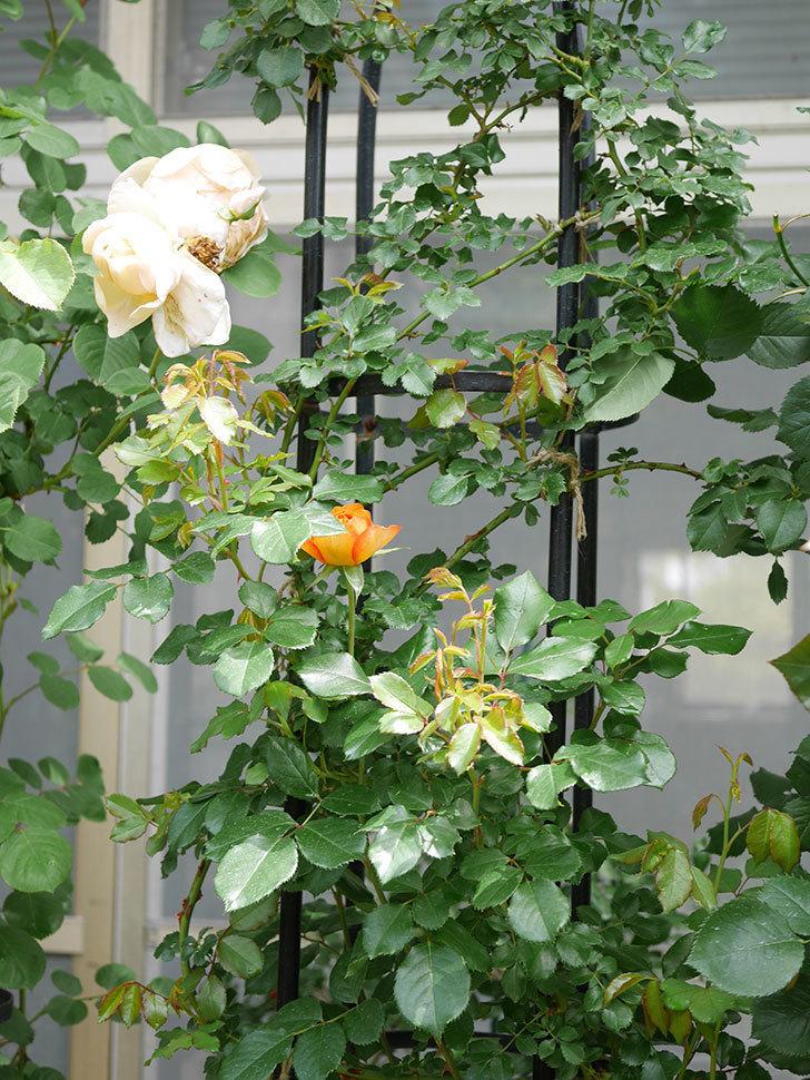 ハニー キャラメル(Honey Caramel)の花が咲きだした。半ツルバラ。2021年-013.jpg