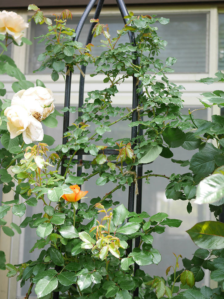 ハニー キャラメル(Honey Caramel)の花が咲きだした。半ツルバラ。2021年-014.jpg