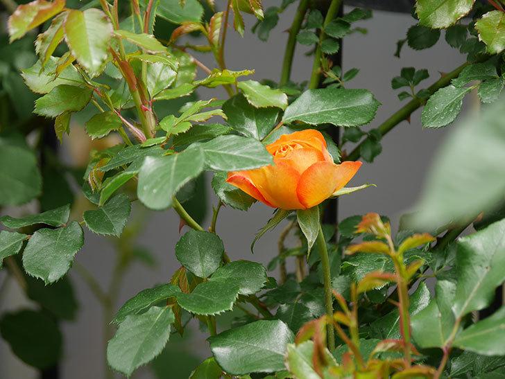ハニー キャラメル(Honey Caramel)の花が咲きだした。半ツルバラ。2021年-015.jpg