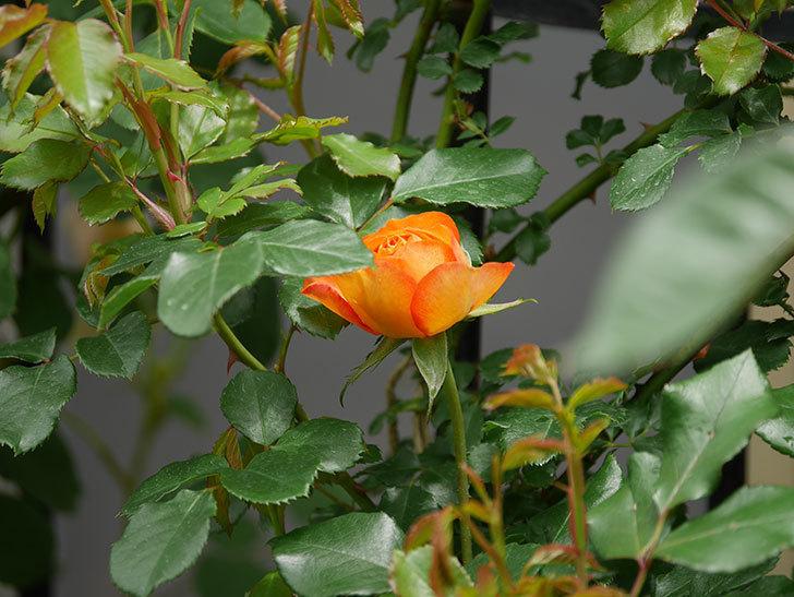 ハニー キャラメル(Honey Caramel)の花が咲きだした。半ツルバラ。2021年-016.jpg