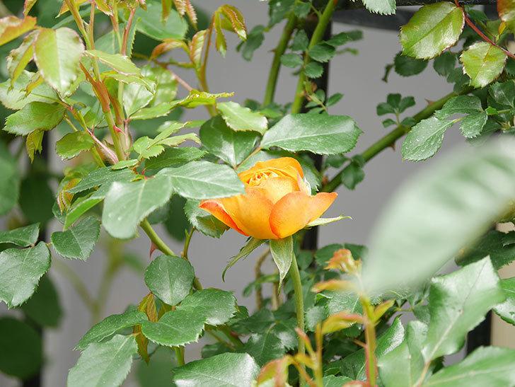 ハニー キャラメル(Honey Caramel)の花が咲きだした。半ツルバラ。2021年-017.jpg