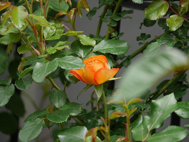 ハニー キャラメル(Honey Caramel)の花が咲きだした。半ツルバラ。2021年-018.jpg
