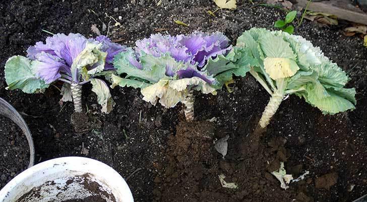 ハボタン-つぐみ-とオリヅルランを寄せ植えした。2015年-2.jpg