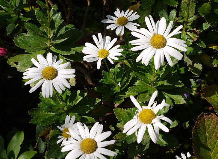 ハマギクがたくさん咲いた。2015年-1.jpg