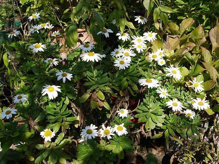 ハマギクがたくさん咲いた。2015年-4.jpg
