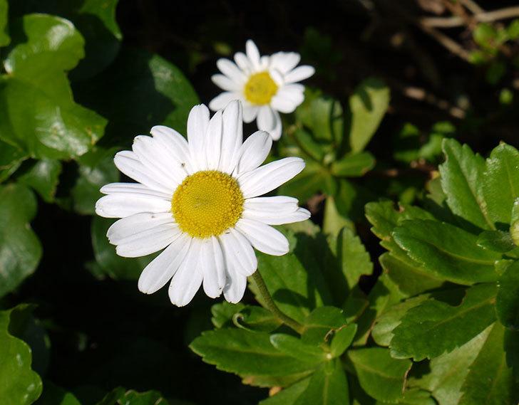 ハマギクがまた咲き出した。2016年-1.jpg