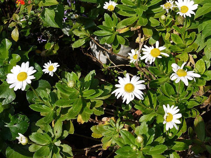 ハマギクがまた咲き出した。2016年-2.jpg
