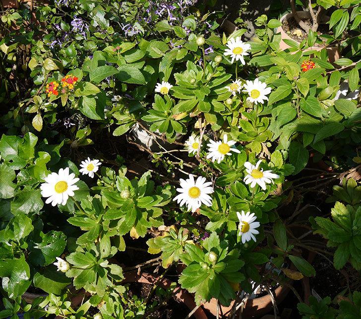 ハマギクがまた咲き出した。2016年-4.jpg