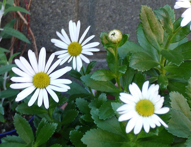 ハマギクが咲いた2.jpg
