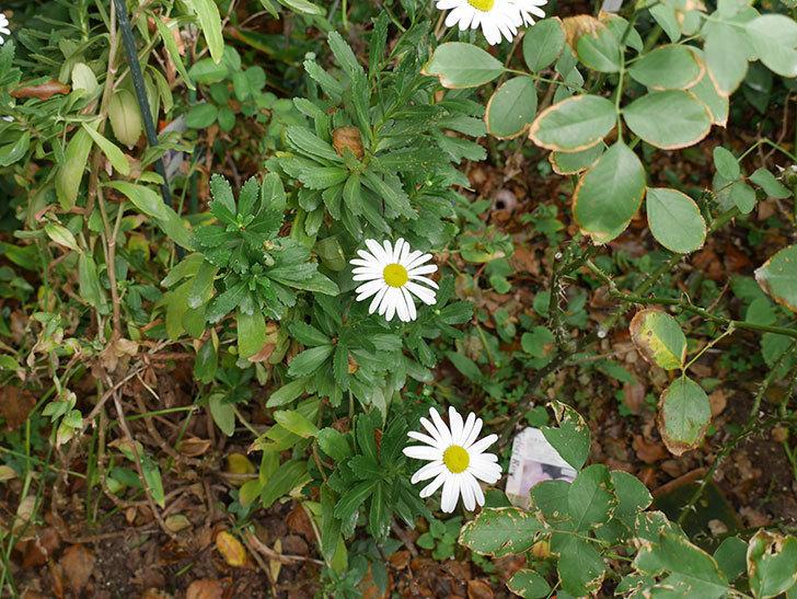 ハマギクが咲いた。2018年-4.jpg