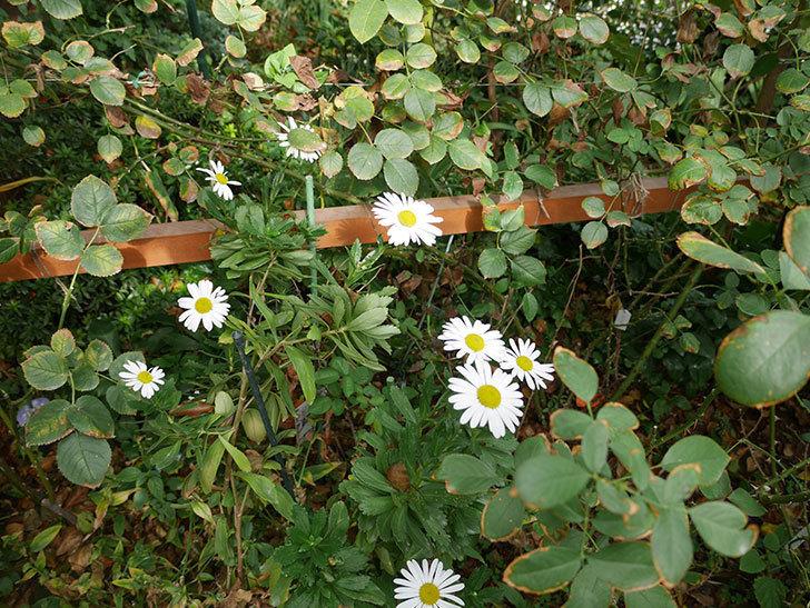 ハマギクが咲いた。2018年-5.jpg