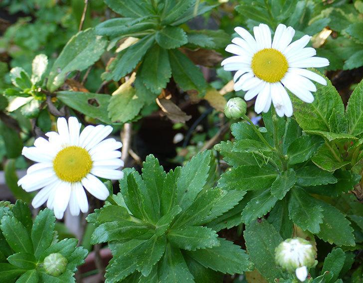 ハマギクが咲きはじめた。2015年-1.jpg