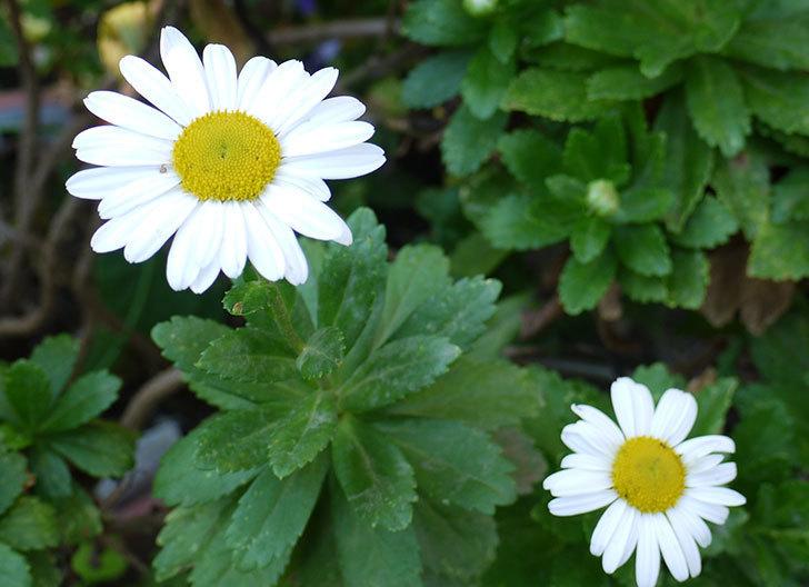 ハマギクが咲きはじめた。2015年-2.jpg
