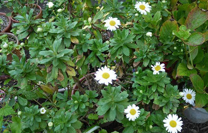ハマギクが咲きはじめた。2015年-3.jpg