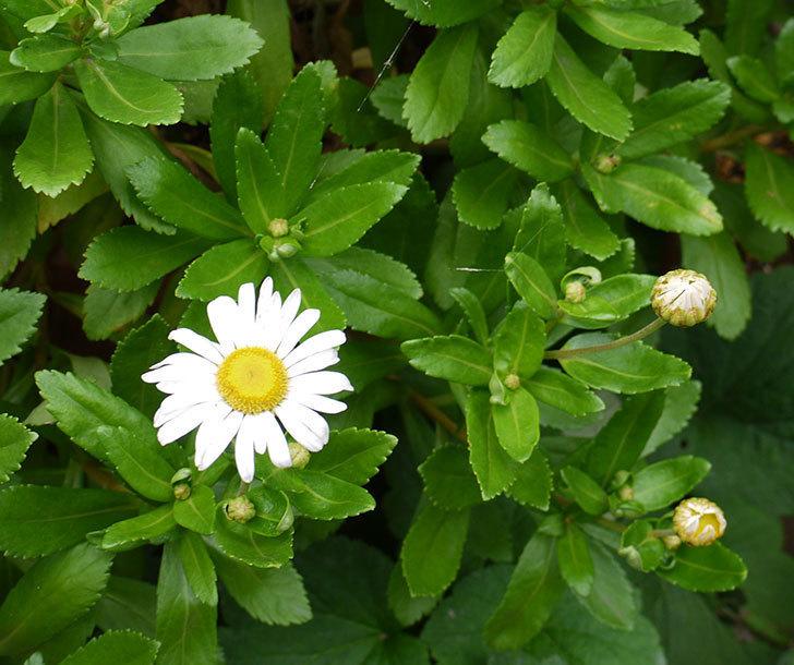 ハマギクが咲き出した。2016年-1.jpg
