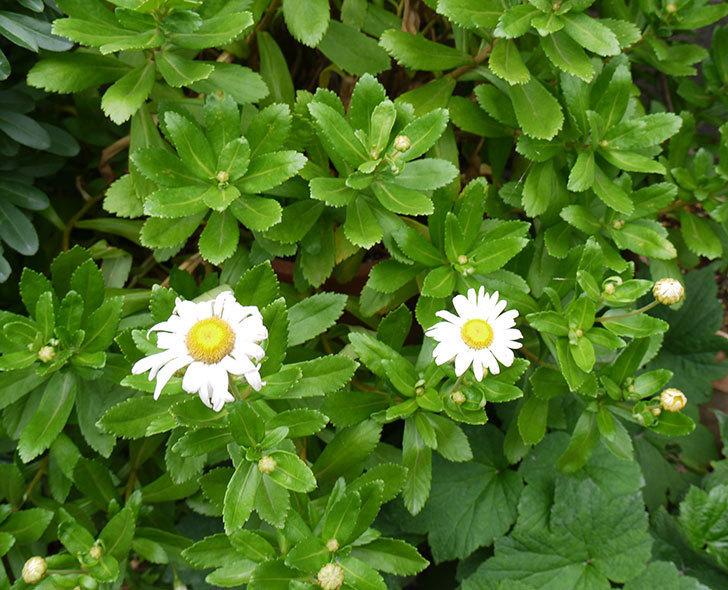 ハマギクが咲き出した。2016年-2.jpg