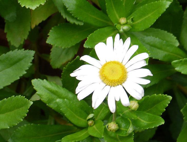 ハマギクが咲き出した。2016年-3.jpg