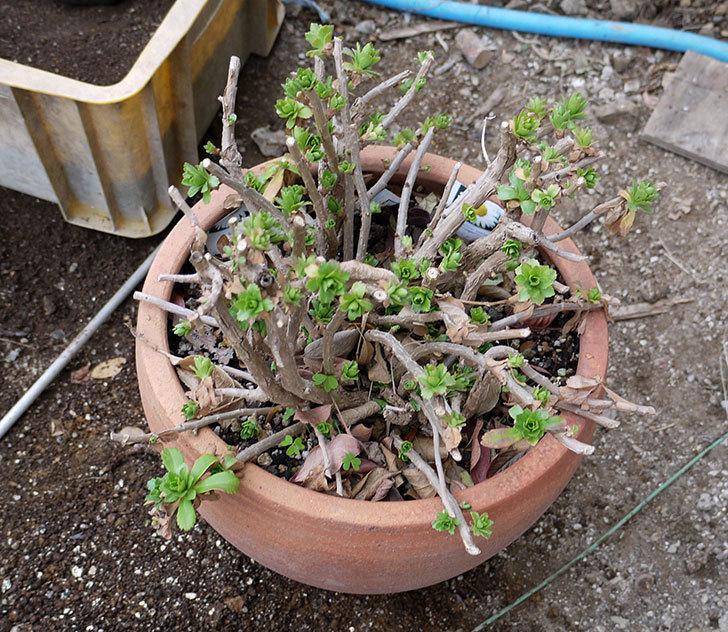 ハマギクの鉢植えを地植えにした。2017年-2.jpg