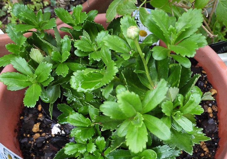 ハマギクを鉢に植えた2.jpg