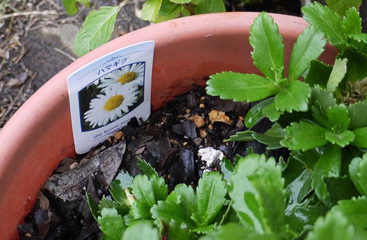 ハマギクを鉢に植えた4.jpg