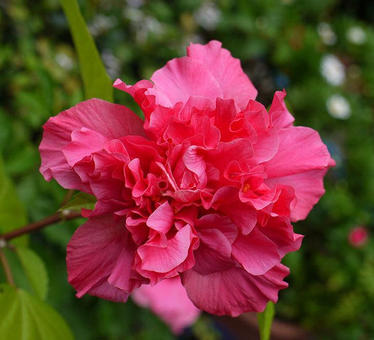 ハンブルグレッドが2個咲いた。2016年-2.jpg