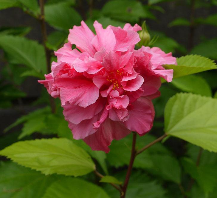 ハンブルグレッドがまた咲いた。2016年-1.jpg