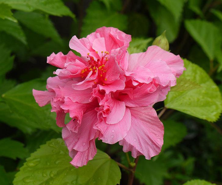 ハンブルグレッドが咲いた。2016年-1.jpg