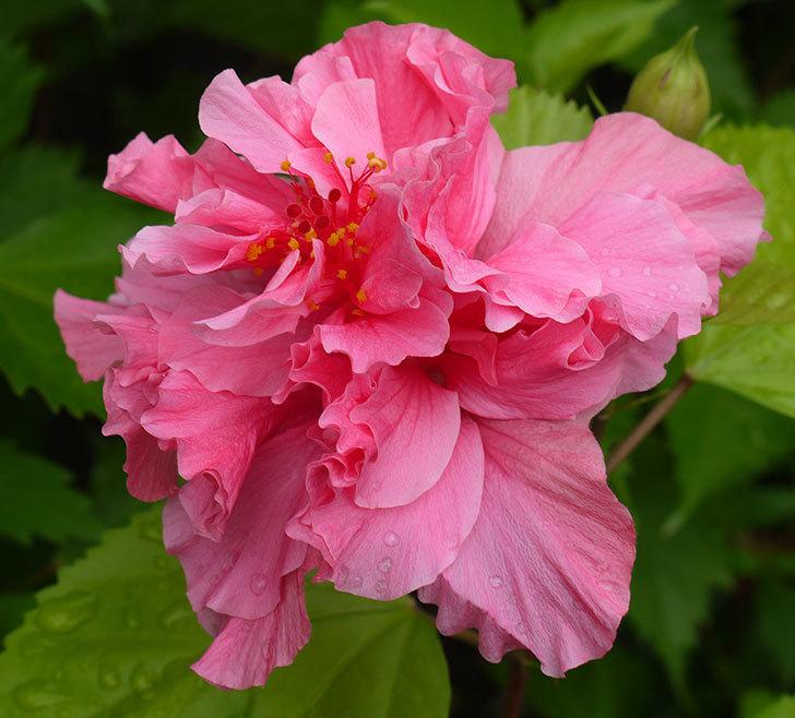 ハンブルグレッドが咲いた。2016年-2.jpg