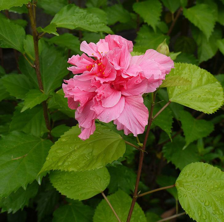 ハンブルグレッドが咲いた。2016年-3.jpg