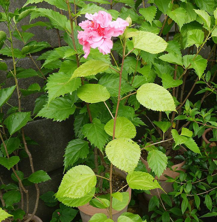 ハンブルグレッドが咲いた。2016年-4.jpg