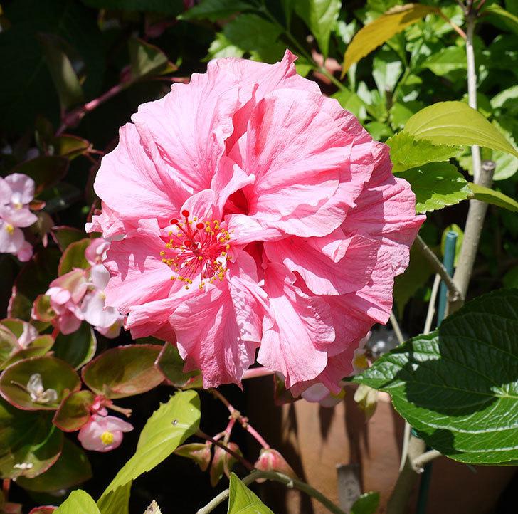 ハンブルグレッドに今年最初の花が咲いた。2017年-1.jpg