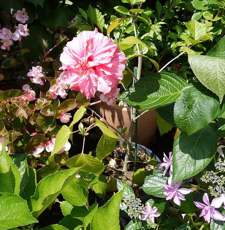 ハンブルグレッドに今年最初の花が咲いた。2017年-3.jpg