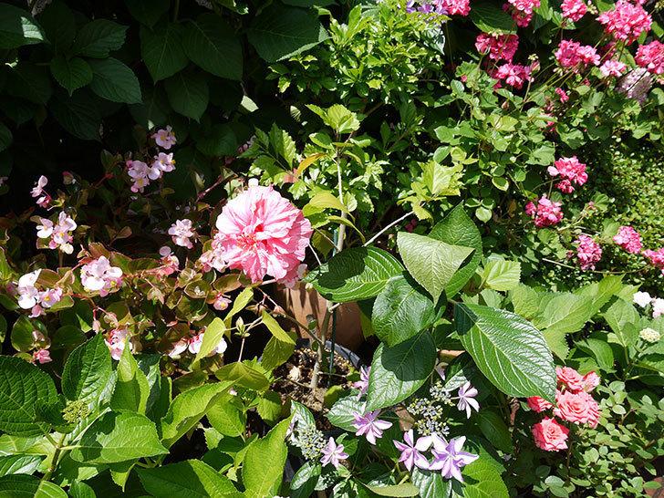 ハンブルグレッドに今年最初の花が咲いた。2017年-4.jpg