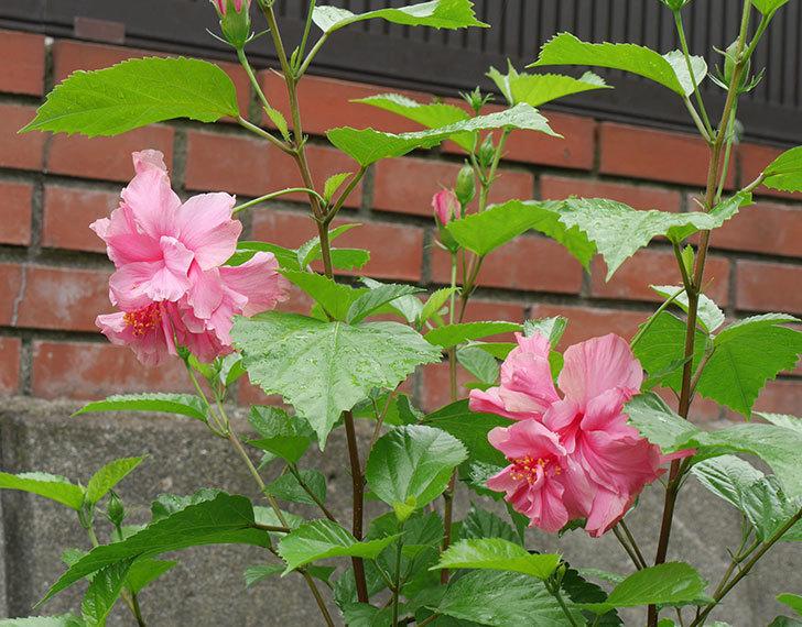 ハンブルグレッドの花が2個咲いた。2018年-1.jpg