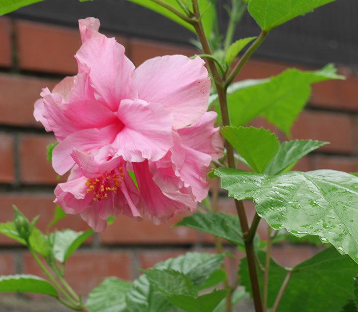 ハンブルグレッドの花が2個咲いた。2018年-3.jpg
