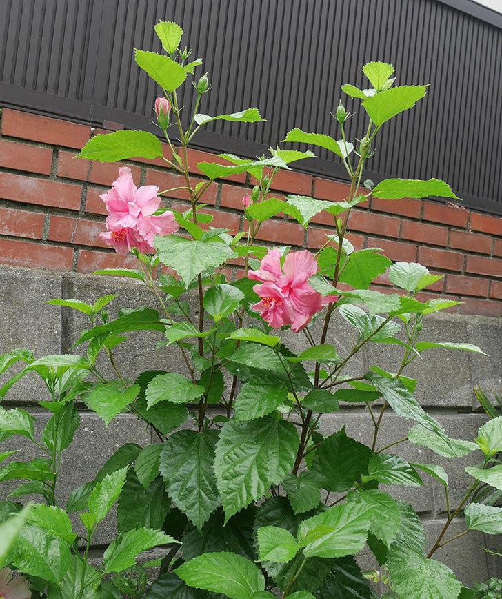 ハンブルグレッドの花が2個咲いた。2018年-4.jpg