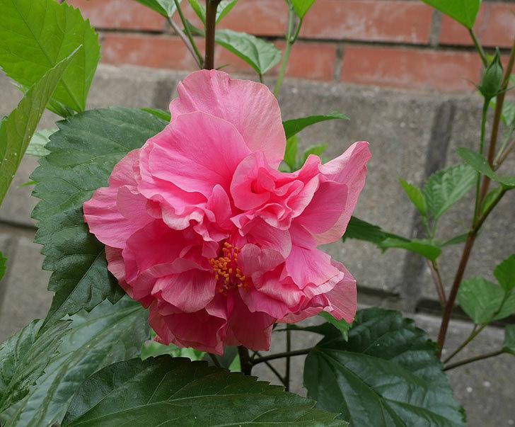 ハンブルグレッドの花が咲いた。2018年-1.jpg