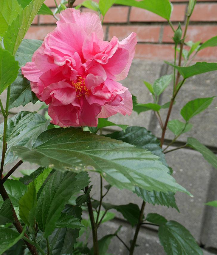 ハンブルグレッドの花が咲いた。2018年-3.jpg