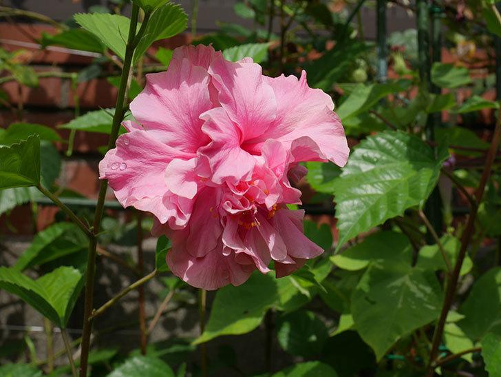 ハンブルグレッドの花が咲いた。2020年-001.jpg
