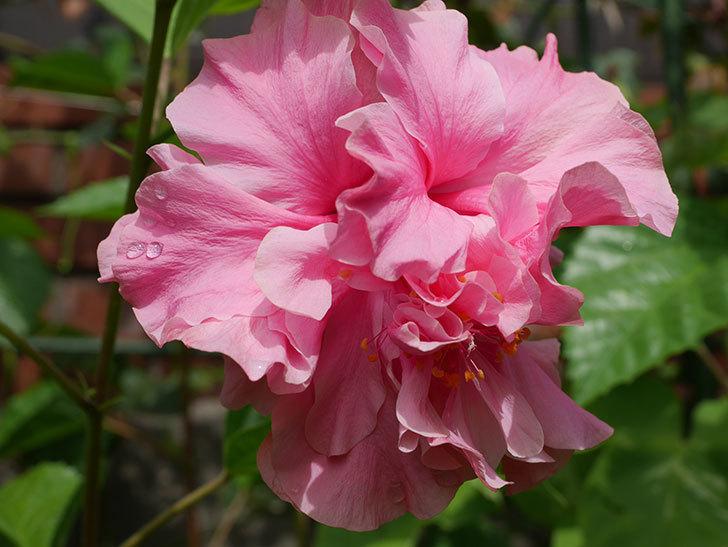 ハンブルグレッドの花が咲いた。2020年-002.jpg