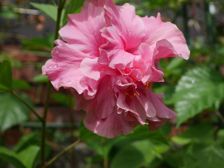 ハンブルグレッドの花が咲いた。2020年-003.jpg