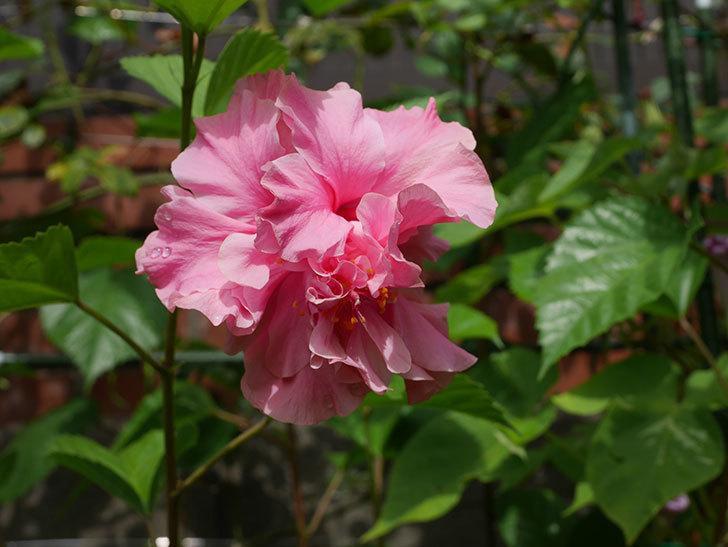 ハンブルグレッドの花が咲いた。2020年-004.jpg
