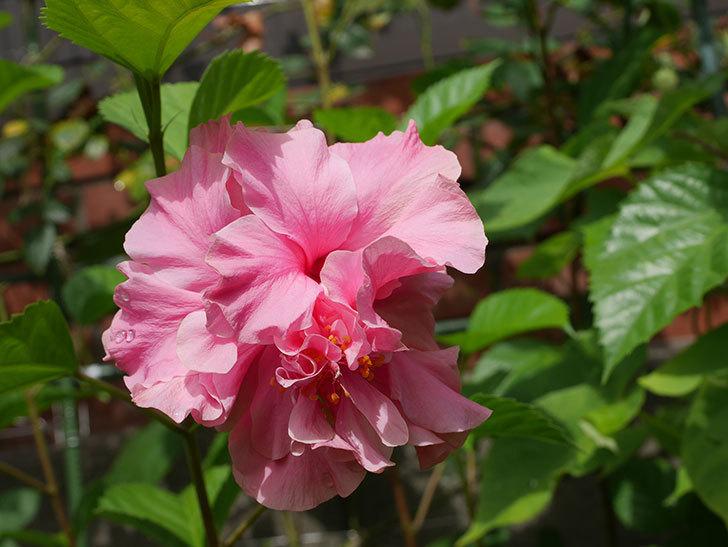 ハンブルグレッドの花が咲いた。2020年-005.jpg