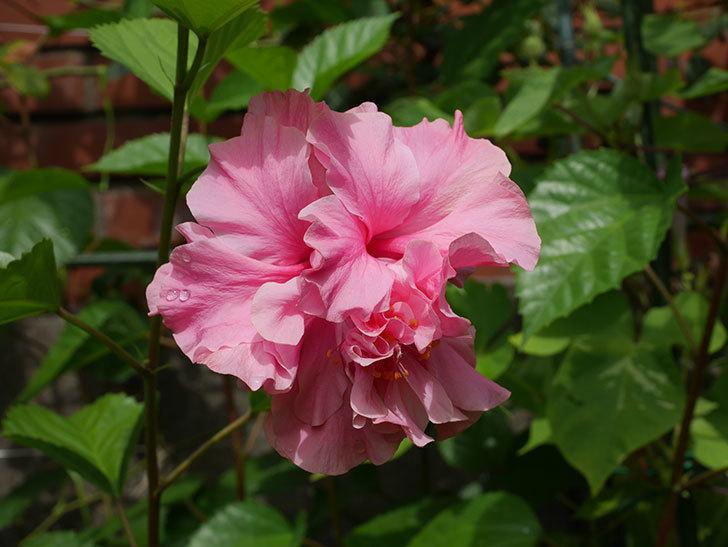 ハンブルグレッドの花が咲いた。2020年-006.jpg