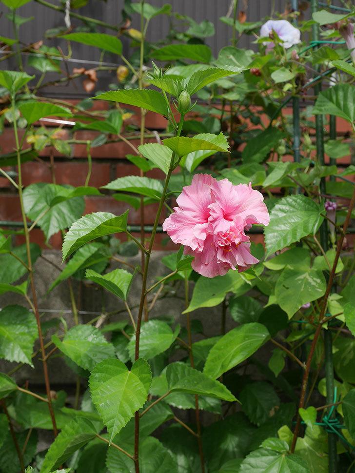 ハンブルグレッドの花が咲いた。2020年-007.jpg